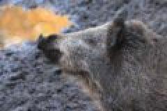Afrikanische Schweinepest erreicht Tschechien
