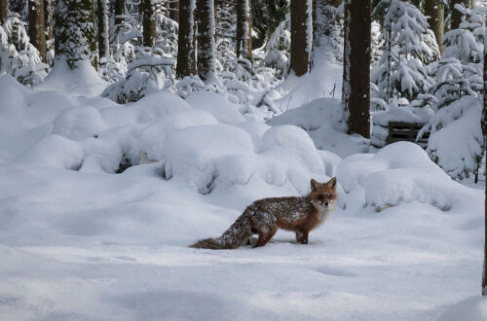 Locker für die Fuchsjagd
