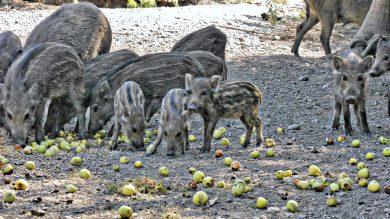 Wildschweinrotte mit Frischlingen an einer Kirrung