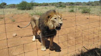 Aufzucht von Löwen in Gattern für die Löwenjagd
