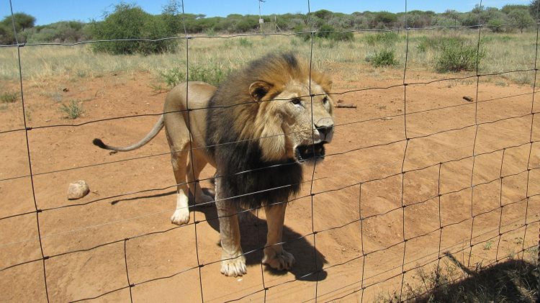 Das blutige Geschäft mit der Löwenjagd
