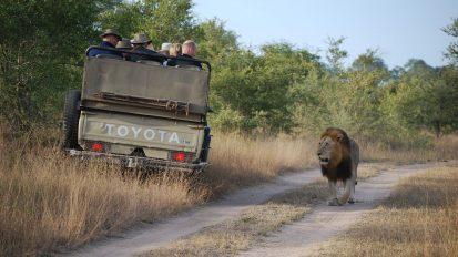Löwen als Touristenattraktion