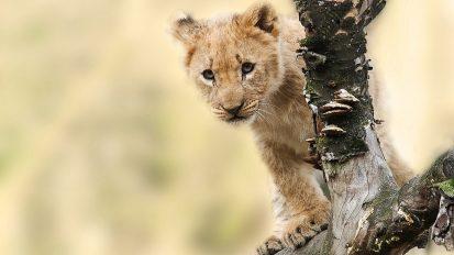 Löwenbaby – von der niedlichen Attraktion auf die Abschussliste