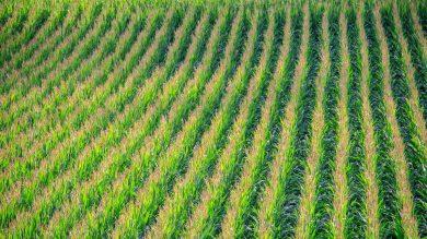 Maisfelder: ein gedeckter Tisch für das Schwarzwild