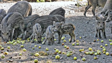 Wildschweinrotte an einer Kirrung