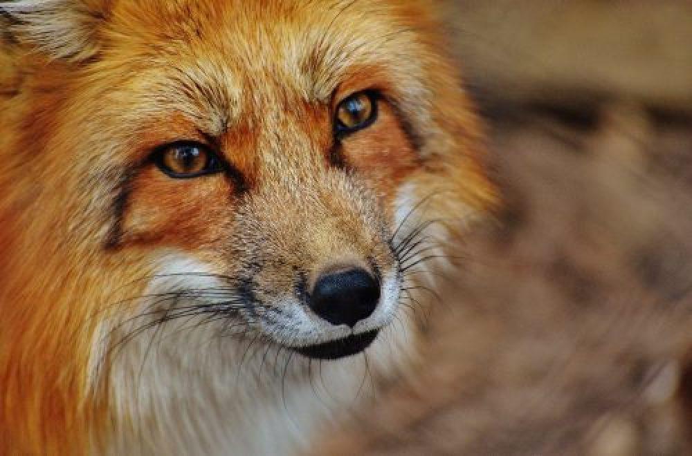Das Jagdrevier im Februar – Baujagd auf Reinecke Fuchs