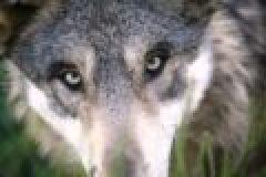 Kein Gnadenschuss: Qualvoller Tod eines Wolfes