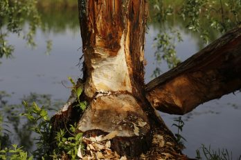 beaver-1076646_1920