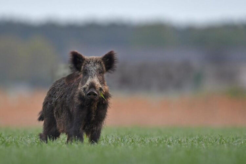 Aktuelle Jagdbilanz: 589.417 Wildschweine bundesweit erlegt