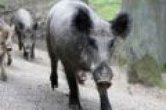Wildschweine in der Stadt – Die Sauen sind los!
