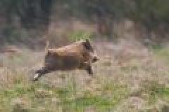 Erster Fall der Afrikanischen Schweinepest in Ungarn