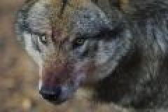 Wolf tötet Dutzende Schafe