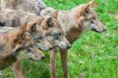 Daubaner Rudel: Behörde prüft nach Angriff Abschuss von Wölfen