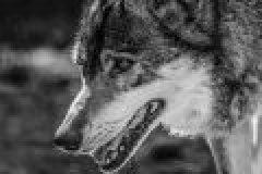 Wolf verletzt offenbar Arbeiter bei Beißattacke in Niedersachsen