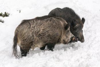 Schwarzwild auf der Nahrungssuche im Schnee